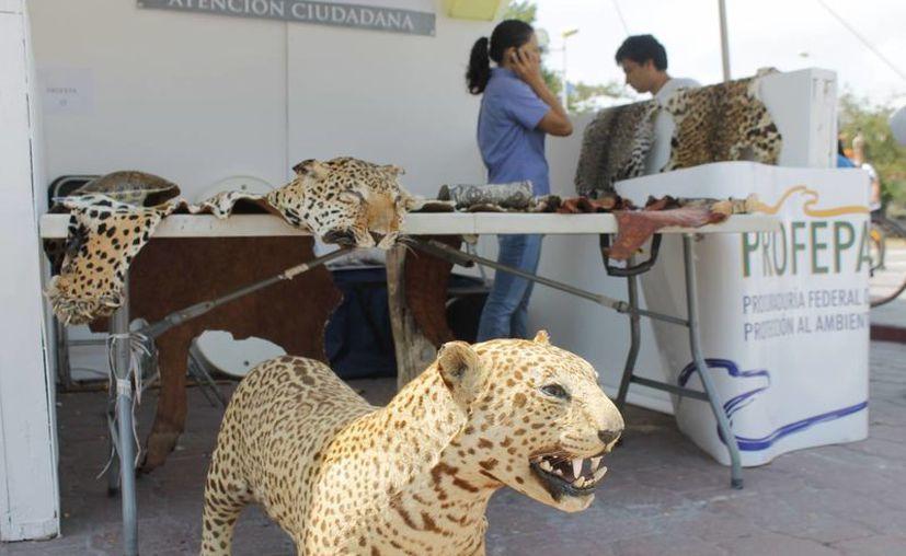 Las especies disecadas que se exhiben en el stand fueron recuperadas de manos de un coleccionista de animales silvestres. (Jesús Tijerina/SIPSE)