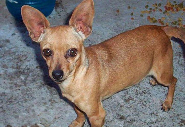 Un perro de raza chihuahua fue tomado por unos desconocidos, en Chicxulub, quienes pidieron al dueño 10 mil pesos para liberar al animal (Imagen de contexto/morelia.olx.com.mx)