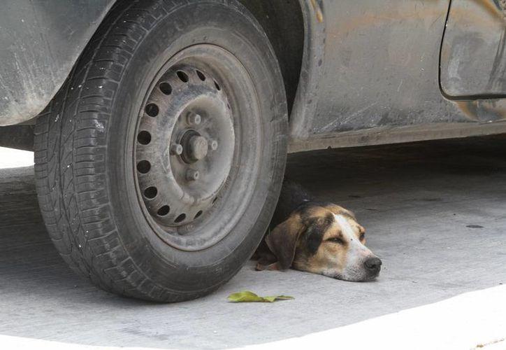 La fauna doméstica callejera y la silvestre, son de las que más sufren atropellos por automovilistas. (Redacción/SIPSE)