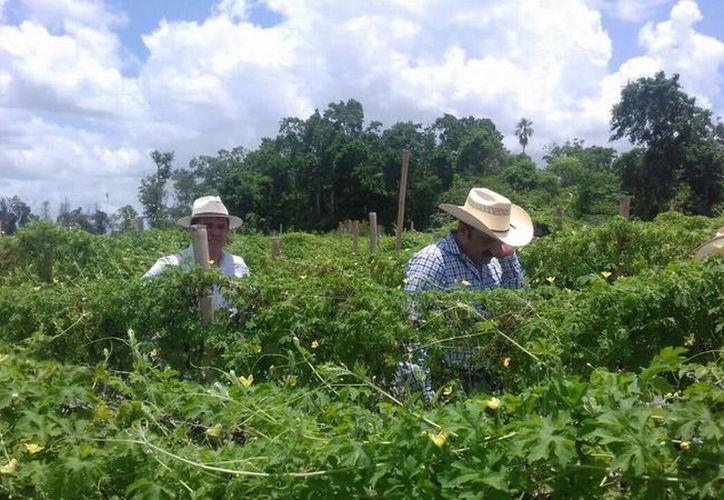 Se realizó una visita a la comunidad de Divorciados, en el municipio de Bacalar, en donde un productor tiene cultivos de melón hindú. (Benjamin Pat/SIPSE)