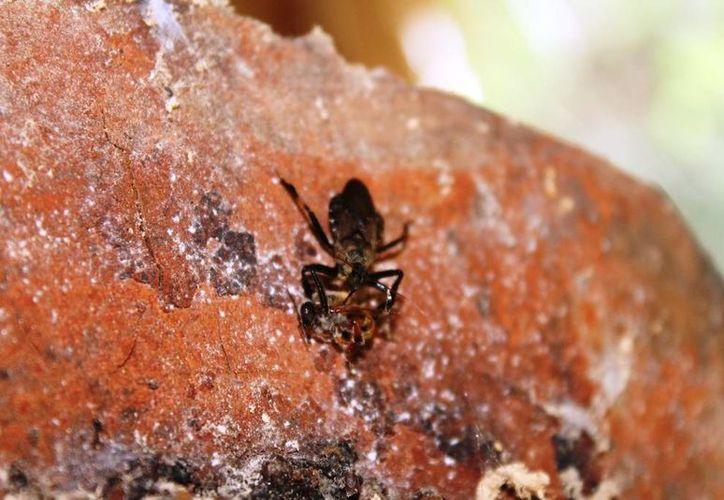 El pequeño escarabajo de la colmena, es de aproximadamente cinco milímetros de longitud y es potencialmente peligroso para los panales. (Edgardo Rodríguez/SIPSE)