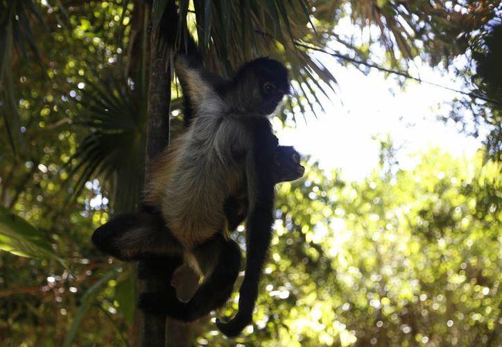 Fueron asegurados monos araña en municipios del estado. (Israel Leal/SIPSE)