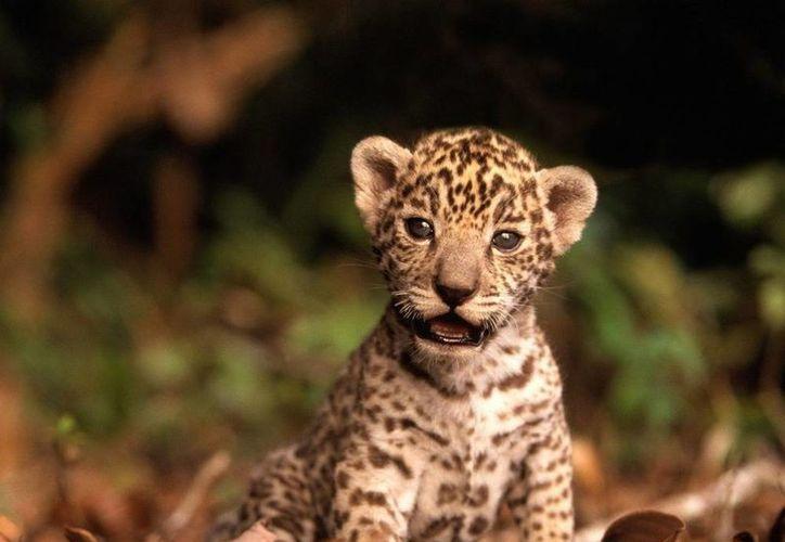 Los animales en peligro de extinción no deben permanecer fuera de su hábitat. (Redacción/SIPSE)
