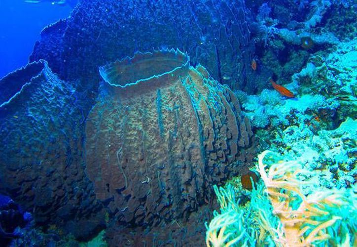 A las esponjas marinas, como esta de la especie Xestospongia testudinaria, se les conoce por su capacidad para estabilizar la biodiversidad. (Actualidad RT)