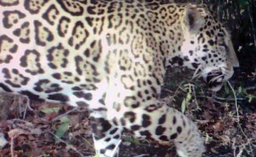 El problema para el jaguar es que a nivel nacional se ha reducido el 60% del territorio que tenían, además se ven amenazados por la fragmentación de su hábitat y la cacería ilegal. (Milenio Novedades)
