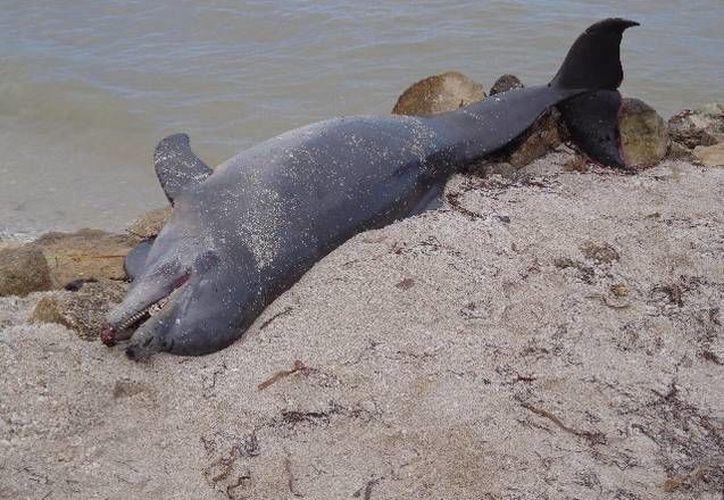 Ante los hallazgos de los delfines muertos, las autoridades han comenzado a realizar patrullajes en las costas en coordinación con pescadores. (Archivo SIPSE)