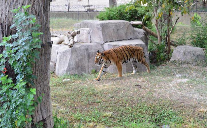 Hace un año algunos animales decomisados a los circos fueron entregados a los zoológicos, lugares que ahora proponen cerrar. (Archivo/Notimex)