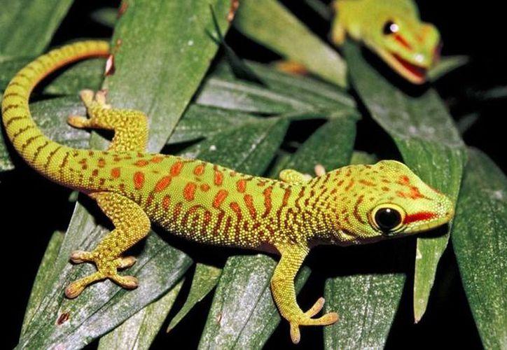Este estudio busca descubrir el tipo de célula madre detrás de la capacidad del gecko para regenerar su cola. (Foto: National Geographic)
