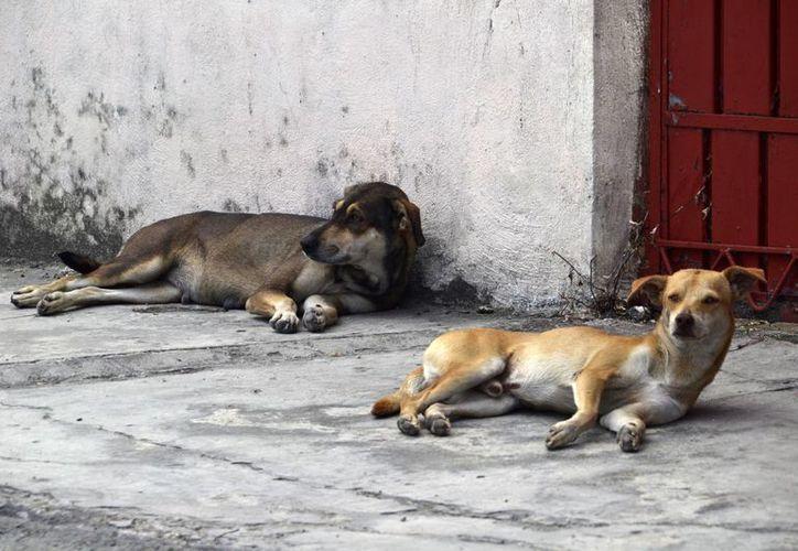 La enfermedad es transmitida a las personas por la picadura de las pulgas de perros y gatos. (Harold Alcocer/SIPSE)