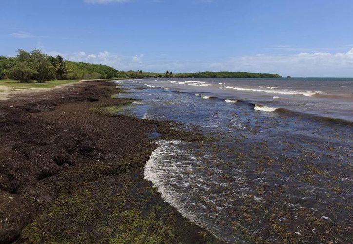 Grandes cantidades de algas cubren la playa en la costa este 'Playa Los Machos' en Ceiba, Puerto Rico. Los montones de  sargazo se dispararon en extensión y frecuencia en los últimos años. (AP)