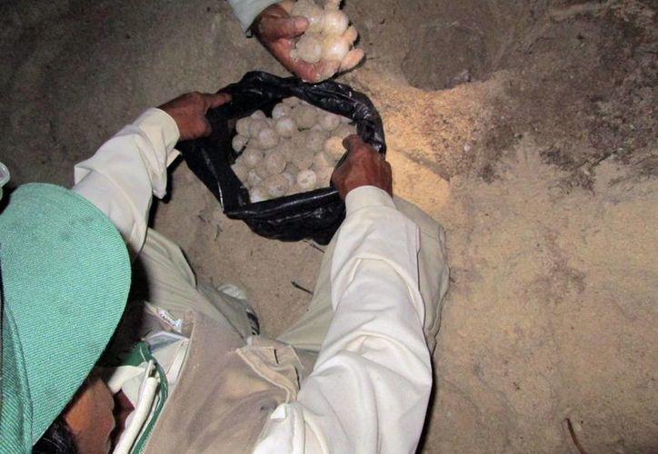 Resguardan huevos en riesgo. (Milenio Novedades)