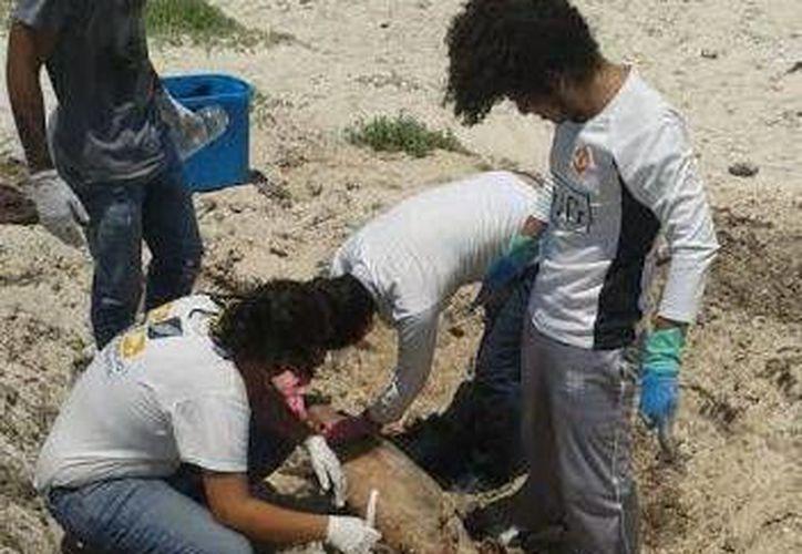 Las pruebas hechas al delfín hallado muerto en Progreso fueron enviadas a Mérida. (SIPSE)