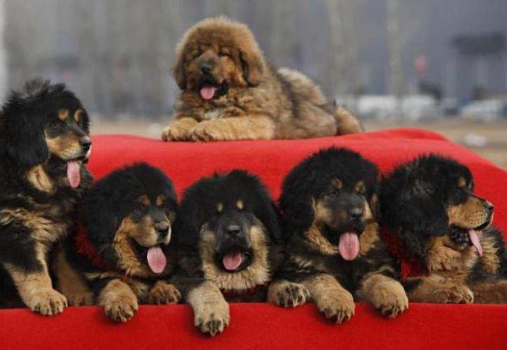 El médico veterinario implantaba heroína líquida a los cachorros para enviar de Colombia a Estados Unidos. Imagen de contexto de unos cachorros de mastín tibetano. (Archivo/AP)