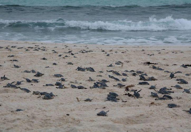 Luego de que nacen, las crías son liberadas en el mar para su desarrollo y posterior reproducción. (Tomás Álvarez/SIPSE)