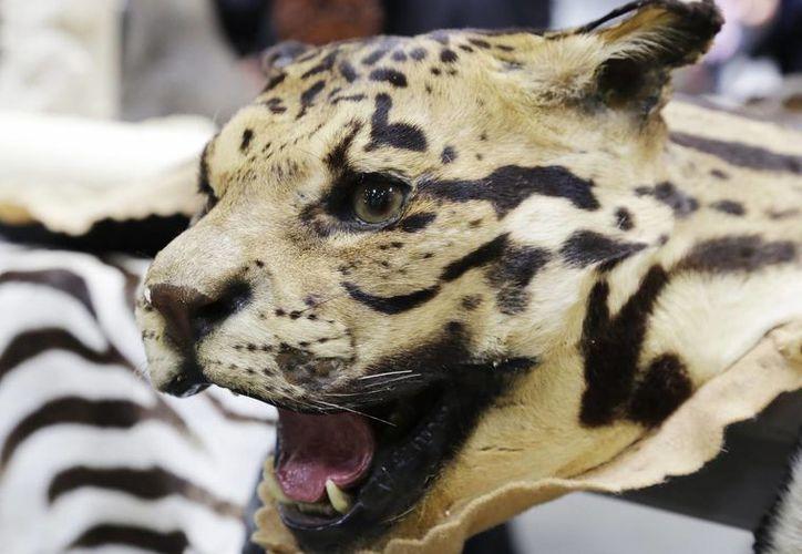 Una cabeza disecada de leopardo, entre los artículos mostrados en el Aeropuerto JFK, por las autoridades. (Foto AP)