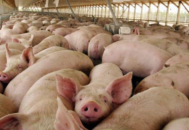 La SSY descartó que haya algún brote de fiebre porcina en Yucatán, mientras que el secretario de Desarrollo Rural dijo que el estatus fitosanitario en el estado es óptimo. (SIPSE)