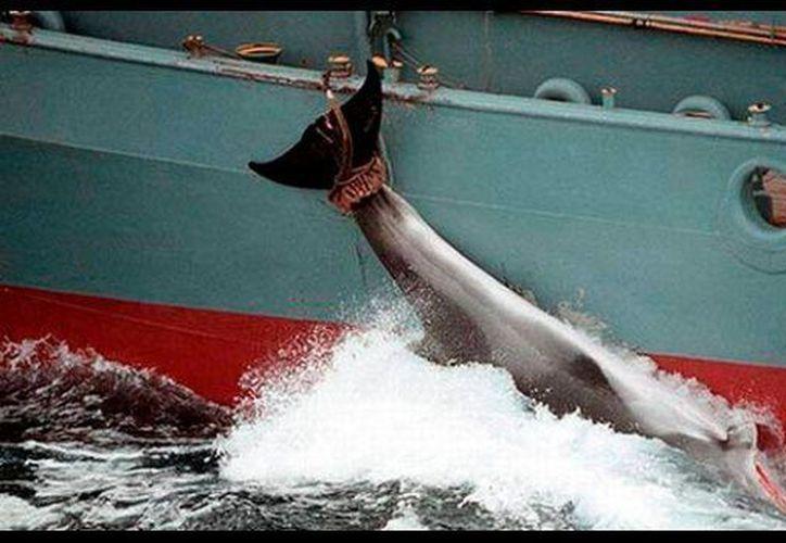 La matanza de ballenas es considerada una cultura en Japón. (Foto: El Deber).