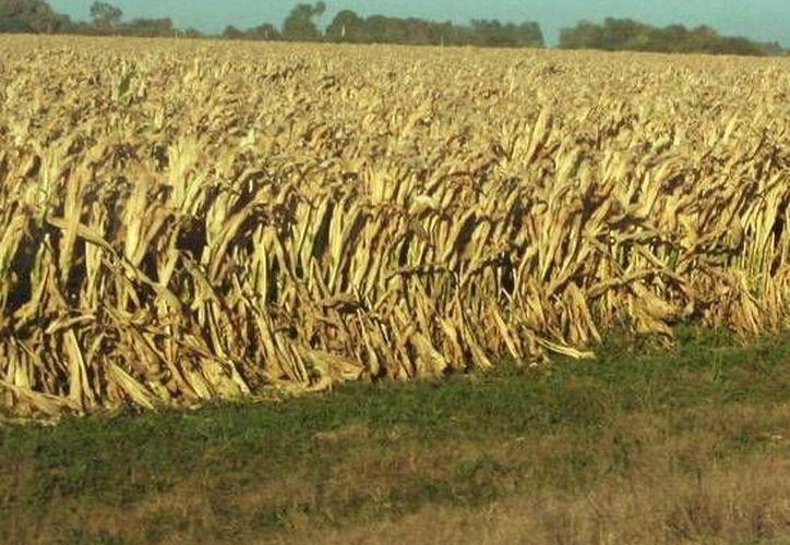 El maíz que se produce en Yucatán en mayormente para autoconsumo. (SIPSE)