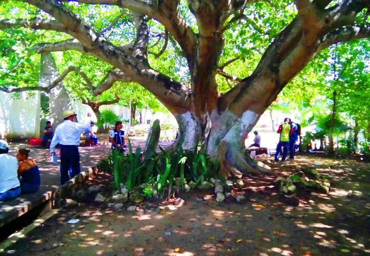 En Playa del Carmen se realiza un diagnóstico del estado de los árboles monumentales que hay en la ciudad. (Daniel Pacheco/SIPSE)