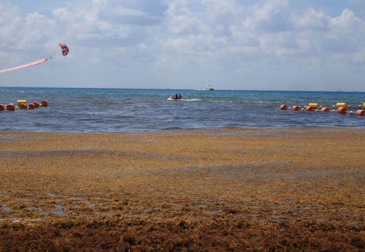 El sargazo en las playas de la Riviera Maya aleja la posibilidad de una bandera azul en sus costas. (Adrián Barreto/SIPSE)