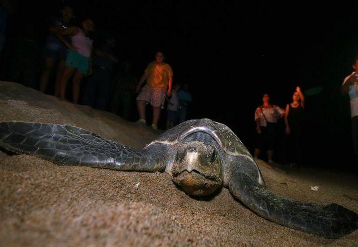 Tortugas, entre las especies más monitoreadas y vigiladas. (Notimex)