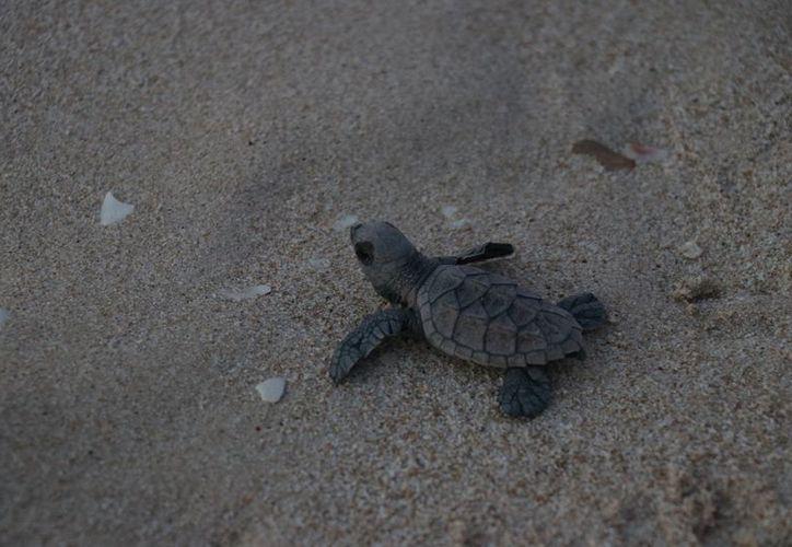 Desafortunadamente, sólo una de cada mil crías de tortuga que son liberadas al mar, logra llegar hasta la edad adulta y vivir entre 70 y 80 años. (Fotos: Daniel Sandoval/Milenio Novedades)