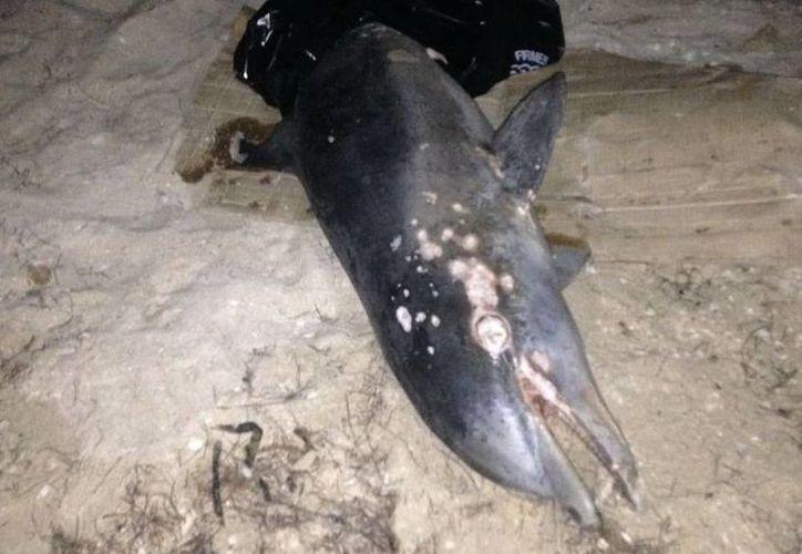La noche del viernes se encontró el cuerpo de este delfín en la costa de Chelem. (Gerardo Keb/ Milenio Novedades)