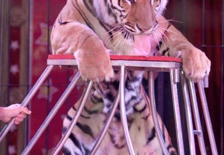 En la Ciudad de México, así como en Naucalpan y Toluca, Edomex, y otras partes del país, ya se ha prohibido el uso de animales en espectáculos circenses. (Archivo/Notimex)
