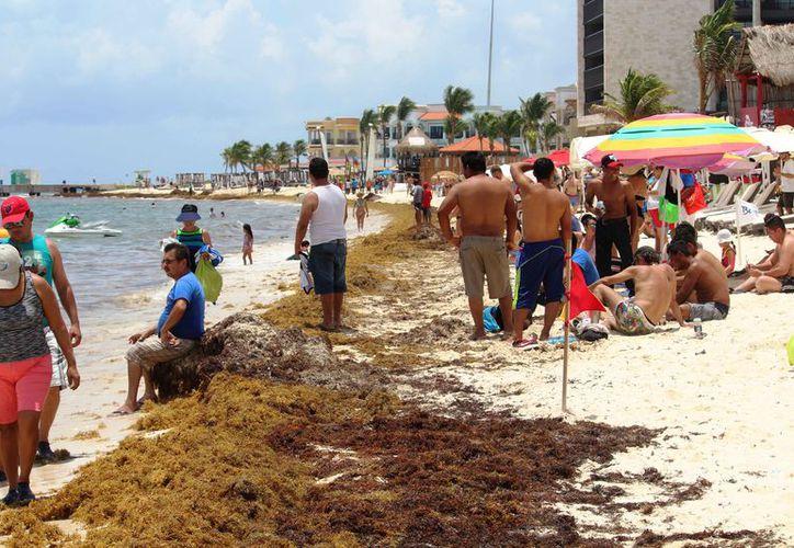 Continúa el recale del sargazo en las playas de Playa del Carmen. (Octavio Martínez/SIPSE)