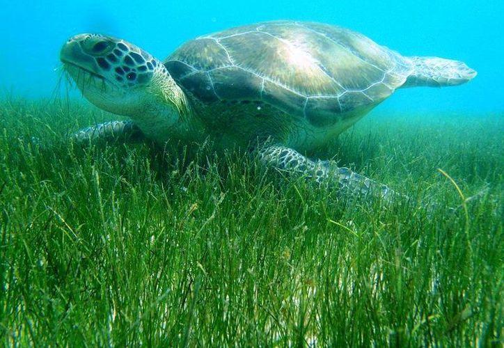La tortuga marina escoge las playas de México para realizar el desove año con año. (Redacción/SIPSE)