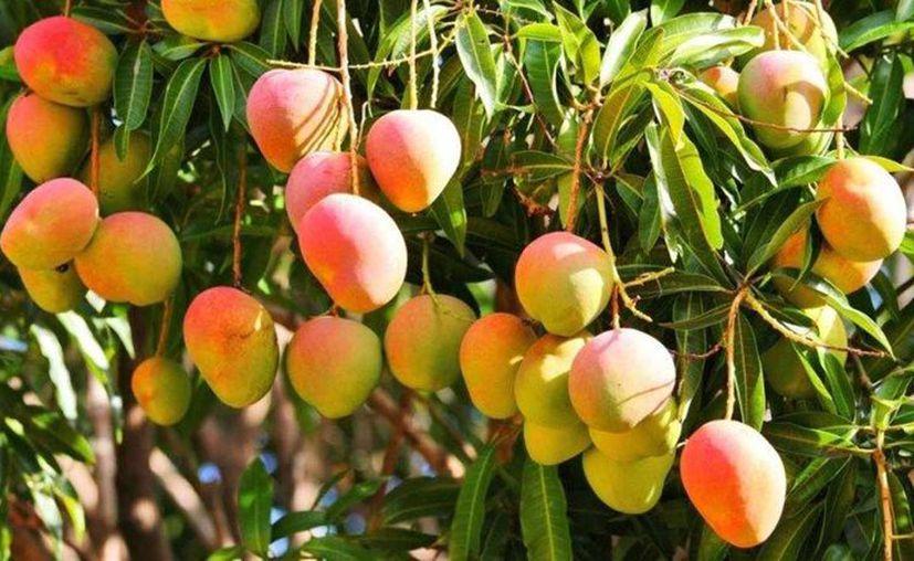 El mango procede de la India.  (Foto: contexto Internet)