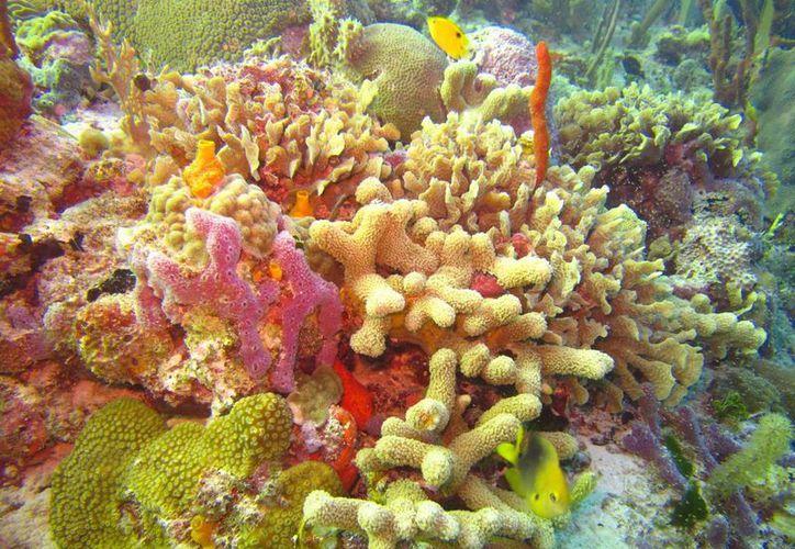 El 30% de los corales de la zona arrecifal que está enfrente de la Riviera Maya está enferma.  (Octavio Martínez/SIPSE)