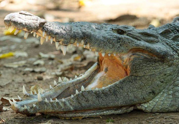 Los esquemas de protección que se han desarrollado en México para garantizar la recuperación de la población del cocodrilo de pantano han revertido la casi desaparición de este ejemplar. (Notimex)