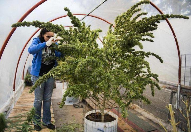 Laura Blanco poda una planta de marihuana en un invernadero del Club Cannabico Sativa, en Montevideo, Uruguay. (Agencias)