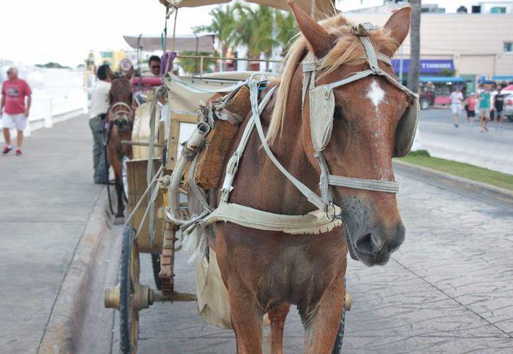 Los paseos en calesas toradas por caballos en Cozumel podrían desaparecer. (Gustavo Villegas/SIPSE)