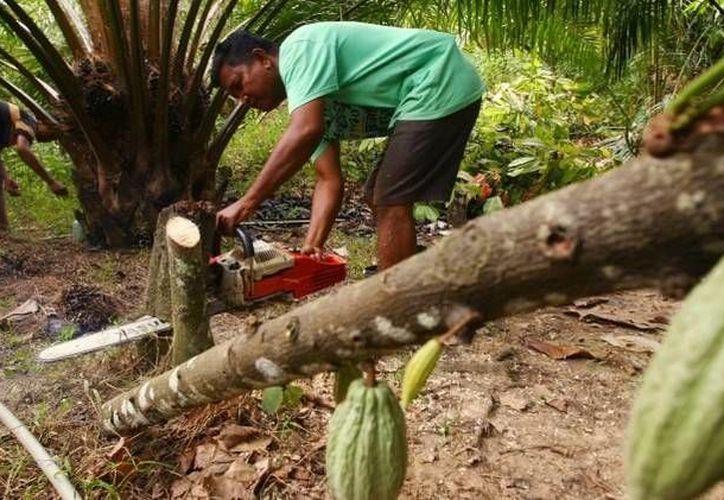 La mayoría de las industrias chocolateras obtienen el cacao en Costa de Marfil, en África Occidental, donde es cosechado gracias al trabajo esclavo. (Archivo/Reuters)