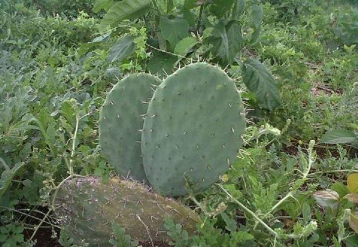 Realizan una prueba piloto en 16 hectáreas del cultivo del nopal. (Javier Ortiz/SIPSE)