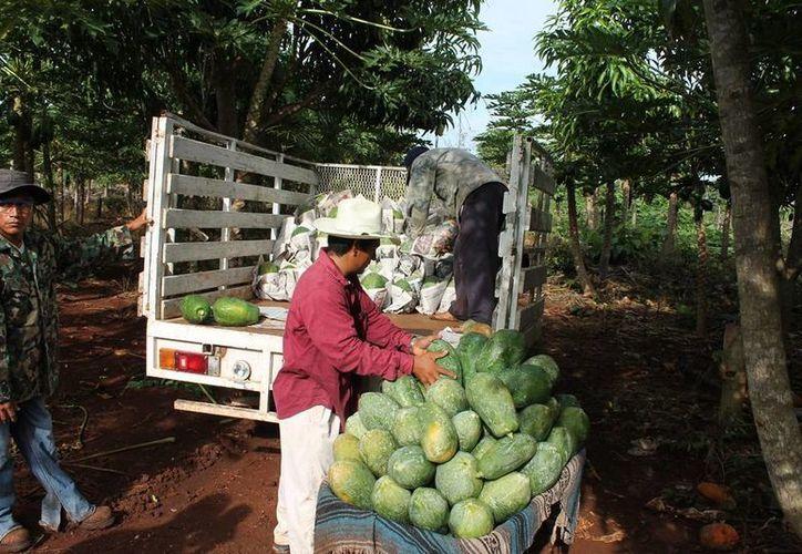 El buen rendimiento de los cultivos ha generado ingresos y empleo para la familia de Eduardo Coto Masava. (Edgardo Rodríguez/SIPSE)