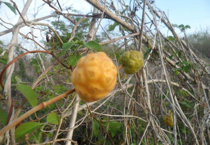 El fruto Piña kaan (Morinda yucatanensis Green), que es muy parecido a la piña, ayuda a que se caigan del cuerpo las molestas verrugas. (SIPSE)
