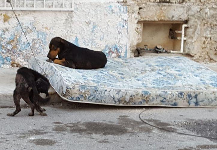 Perros callejeros se adueñaron de varias calles en la colonia Canul Reyes, de Progreso. Los vecinos temen por su integridad, pues los perros son muy agresivos.  El municipio es uno de los tres de Yucatán (Hoctún y Mérida son los otros dos) que han reportado casos de rabia. (Gerardo Keb/SIPSE)