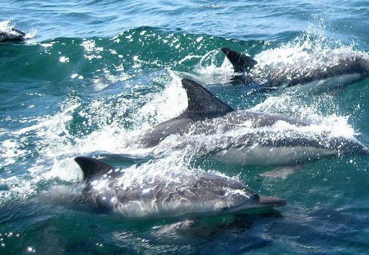 Aumentan  los casos de delfines grises muertos en las costas de Brasil. (Pixabay/Contexto)