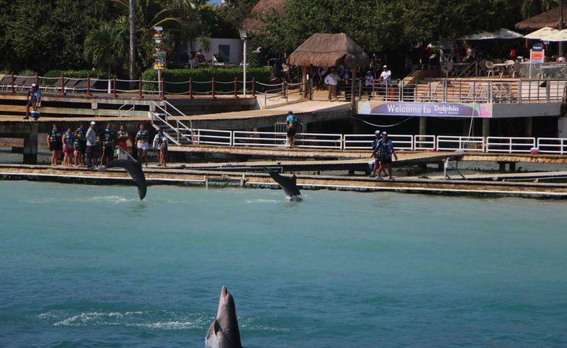 Los delfines son utilizados para espectáculos en los delfinarios. (Paola Chiomante/SIPSE)