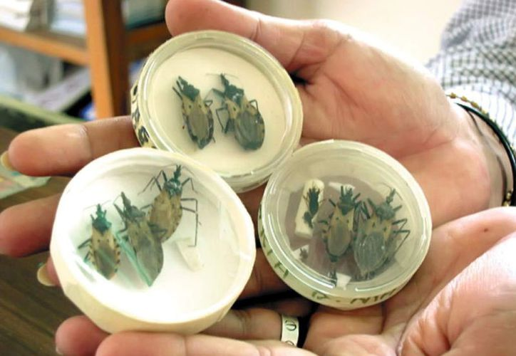 """La """"chiche besucona"""" o """"pic"""" es el insecto que transmite el mal de Chagas. En Yucatán, esta semana se presentó el primer caso de 2017. En México, ya suman 27 los enfermos, cifra que contrasta con 2016, cuando no hubo ninguno. (SIPSE)"""