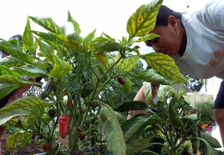 Proyectos agrícolas, como el de la imagen, y pecuarios son apoyados por el DIF Yucatán. (Milenio Novedades)