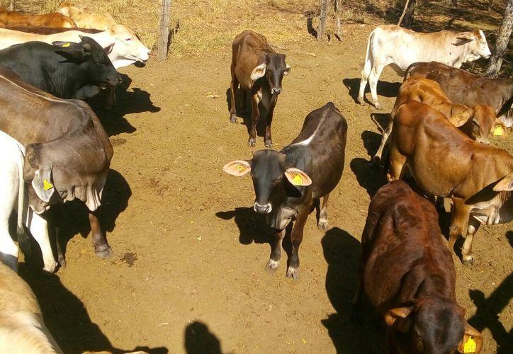 La falta de agua y alimento está provocando que los animales pierdan peso y en algunos casos mueran en los ranchos.