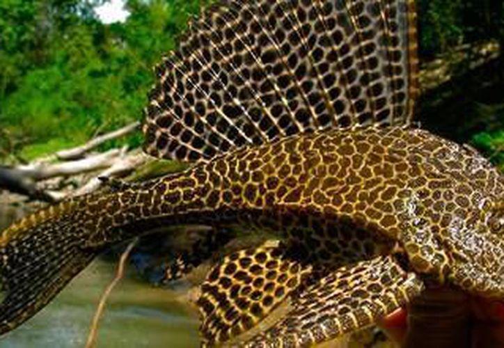 El pez diablo debilita la estructura de los estromatolitos. (Carlos Horta/SIPSE)