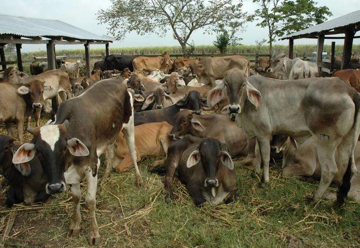 Este apoyo ayudara a mas de 800 productores y a sus cabezas de ganado. (Juan Rodríguez/SIPSE)