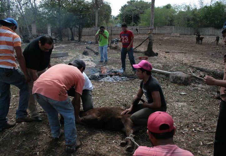 La vida en el rancho Kulinché abarca las faenas camperas, el cuidado de los animales y la diversión en el ruedo. (Martiniano Alcocer/SIPSE)