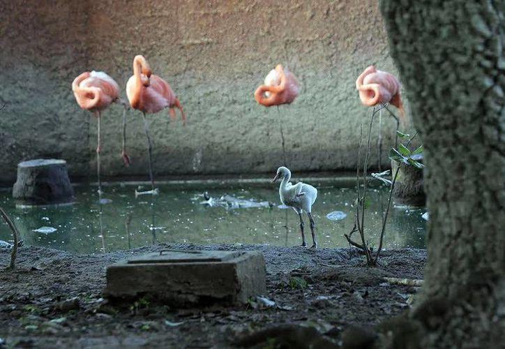La reproducción del flamenco rosa fue uno de los mayores logros de la reproducción de especies en cautiverio, en Mérida, durante 2016. (Milenio Novedades)