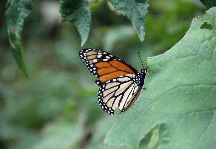 El arribo de la mariposa Monarca sucede en los primeros días del mes de noviembre. (Notimex)